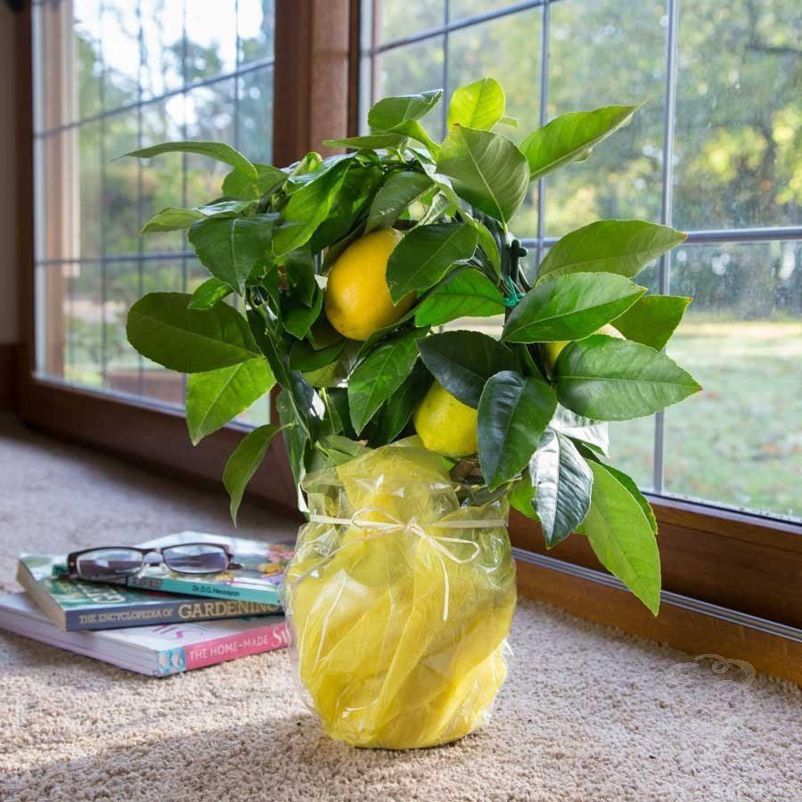 How To Grow Lemon Amp Meyer Lemon Trees From Seed Easily In