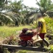 Firms such as Kellogg's, Unilever and Nestlé 'use child-labour palm oil'